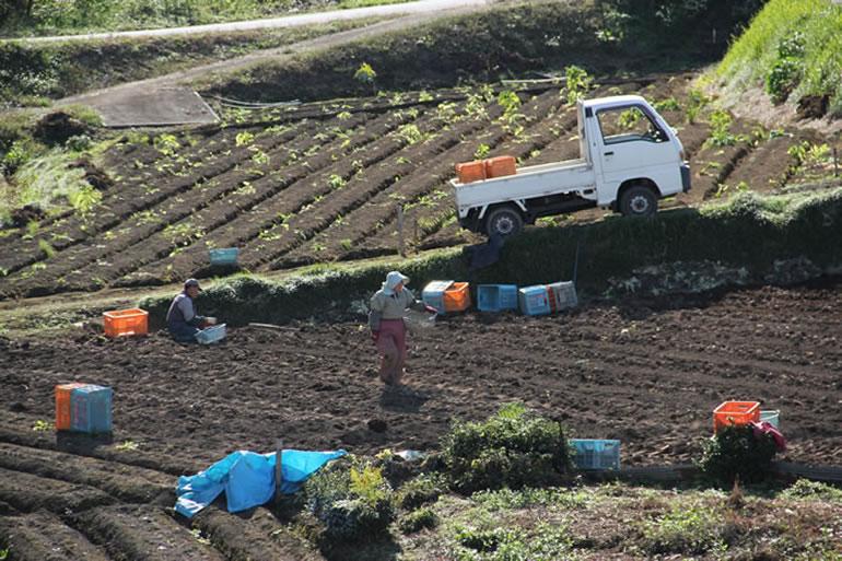 こんにゃく芋の収穫風景