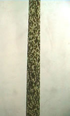 葉柄の斑紋