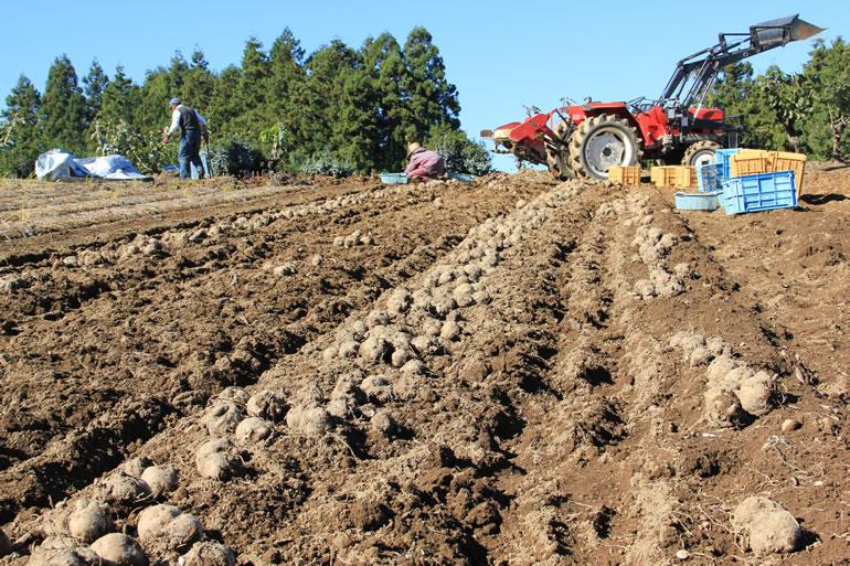 蒟蒻芋の収穫風景