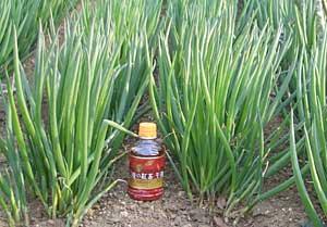 4月に植えた下仁田ネギの苗